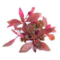 Dennerle plantit! - Alternanthera reineckii Lila In-Vitro
