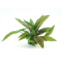 Dennerle plantit! - Cryptocoryne x purpurea In-Vitro