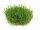 Dennerle plantit! - Eleocharis pusilla In-Vitro
