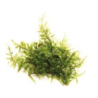 Dennerle plantit! - Vesicularia montagnei In-Vitro
