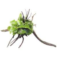 Dennerle Anubias nana Spiderwood